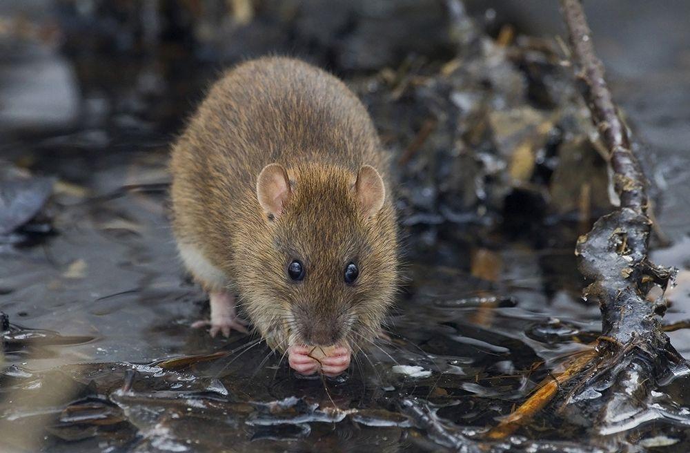 Bild på råtta